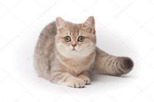 מזון לחתולים הילס