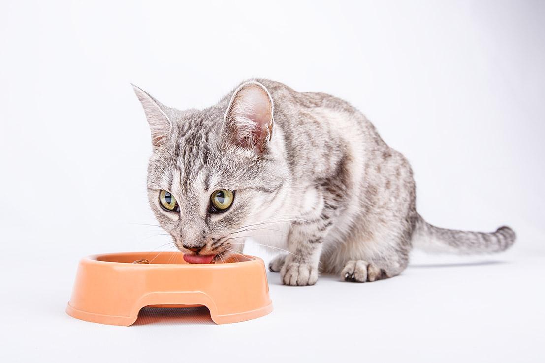 דגשים לתזונת חתולות מעוקרות