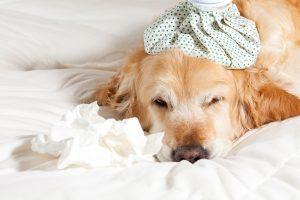 אלרגיות בכלבים