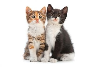 מזון לגורי חתולים