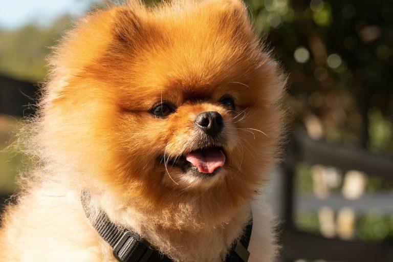 תספורת לכלב פומרניאן