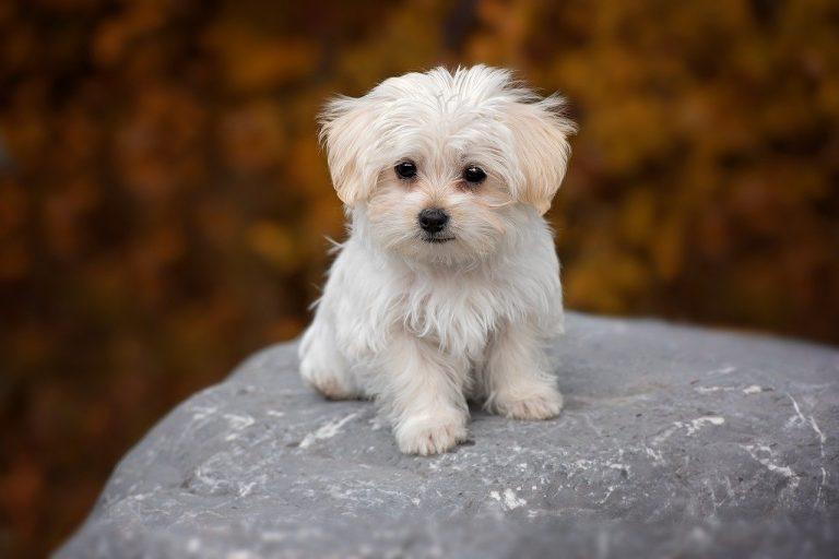 תספורת לכלב מלטז