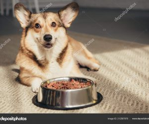 depositphotos_212587978-stock-photo-pembroke-welsh-corgi-lying-floor